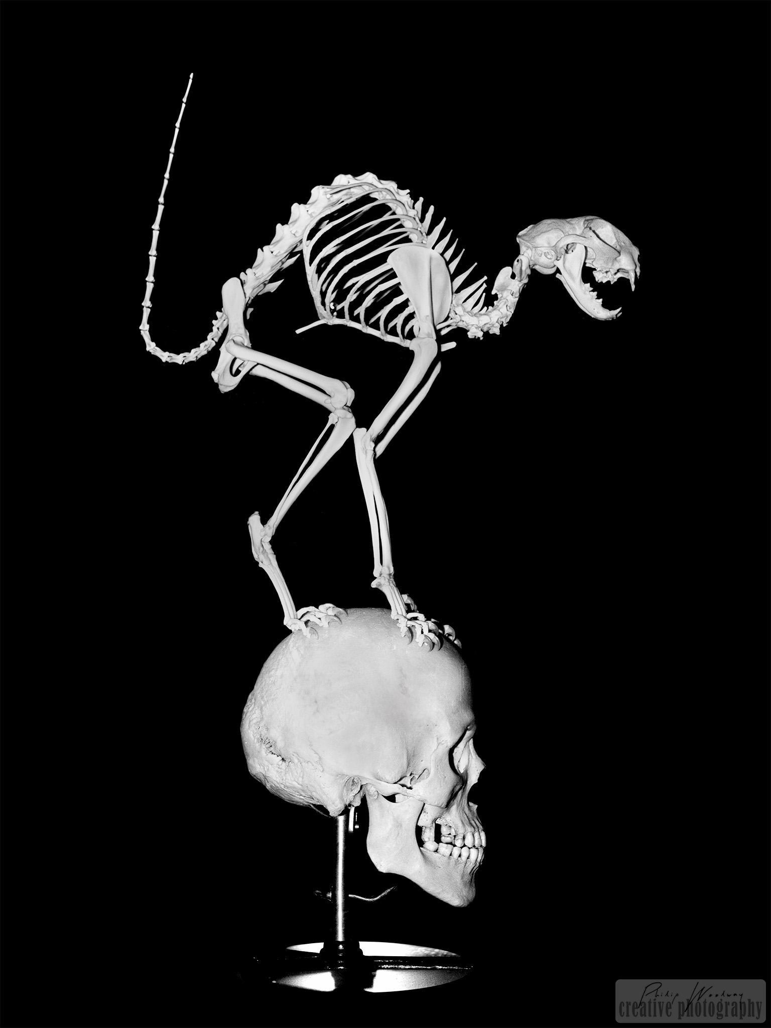 Cat skeleton on skull